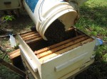 Bees - moving to hive