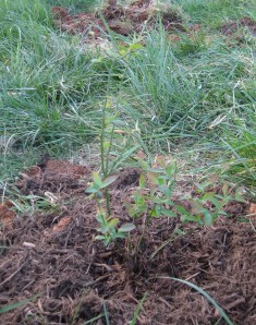 Young Blueberry Bush
